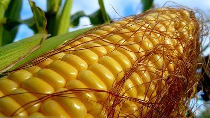 На Хмельниччині чоловіка вбила кукурудза - фото 1