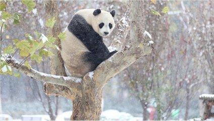 Панда в Китаї вперше в своєму житті побачила сніг - фото 1
