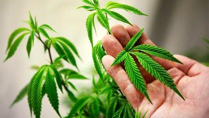 Вчені виявили, як марихуана впливає на зір - фото 1