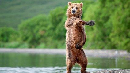 Ведмідь - фото 1