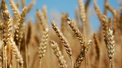 Пшениця - фото 1