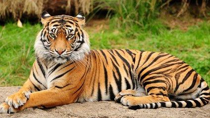 Тигр - фото 1