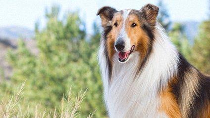 """Собака Пел із фільму """"Лессі"""" - фото 1"""