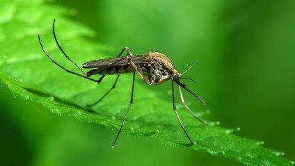 Комар - фото 1