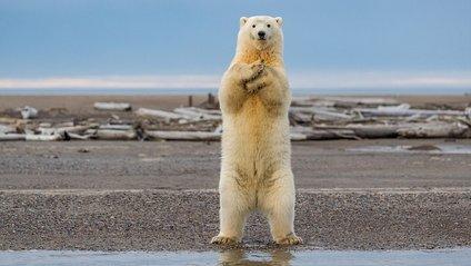Нова зірка Мережі: білий медвідь танцює макарену - фото 1