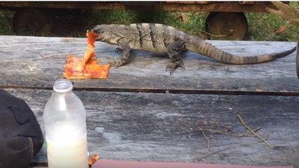 Ігуані вдалось викрасти піцу в туриста: кумедне відео - фото 1