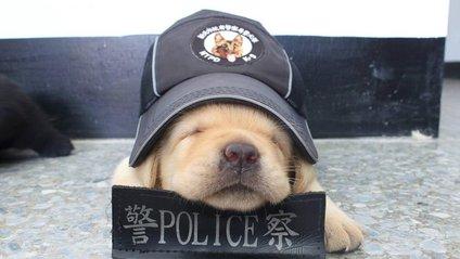 Цуценя лабрадора взяли на службу в поліцію Тайваню: фотофакт - фото 1