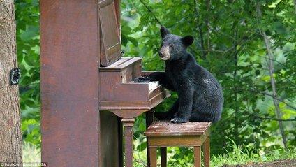 У США ведмідь вдерся у будинок, щоб пограти на піаніно: відеофакт - фото 1