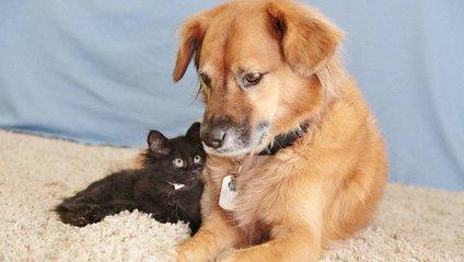Милота зашкалює! Цей собака влаштувався нянькою для кошенят - фото 1