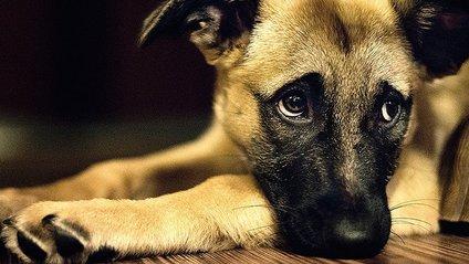 Собаки навчилися виявляти емоції - фото 1