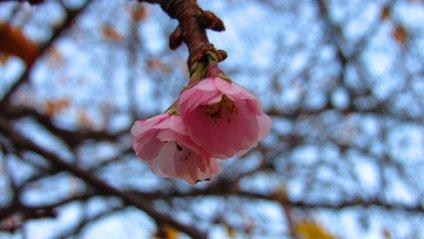 На Закарпатті зацвіла сакура - фото 1