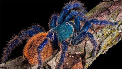 Інший синій павук живе в Південно-Східній Азії - фото 1