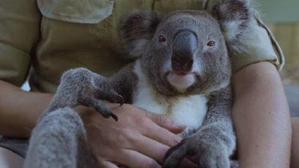 """На відео показали """"найспокійнішу"""" коалу в світі - фото 1"""