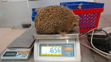 В Ізраїлі посадили на дієту товстих їжаків - фото 1