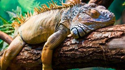 """У Флориді через похолодання почався """"ігуанопад"""" - фото 1"""