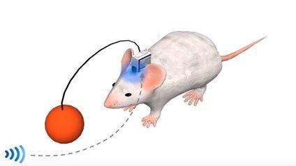 Вчені створили мишей на дистанційному управлінні - фото 1