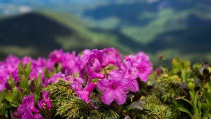 Наукова назва квітів –Rhododendron - фото 1