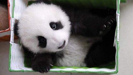 Китайські фахівці присвячують усе своє життя пандам - фото 1