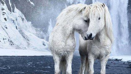 Дикі коні в Ісландії: вражаючі кадри - фото 1