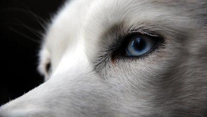 Дослідники пояснили незвичний колір очей у собак - фото 1