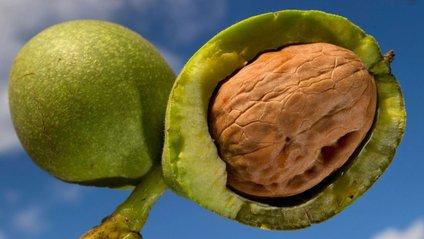 Особливо багато у волоських горіхах альфа-лінолевої кислоти - фото 1