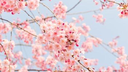 Посеред осені в Японії розквітли сакури - фото 1