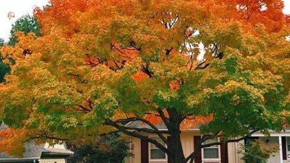 Ідеальне осіннє дерево - фото 1
