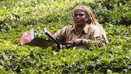 Плантації чаю –це приватна територія - фото 1