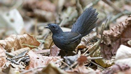 Унікальний птах Топаколо Штреземанна - фото 1