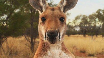 Народився рідкісний кенгуру - фото 1