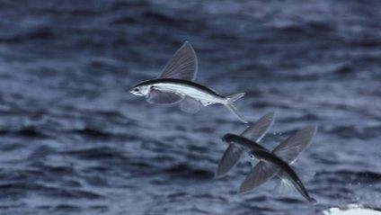 Унікальні кадри летючих риб - фото 1