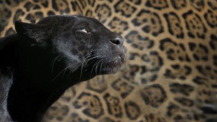 Унікальні фото чорного леопарда - фото 1