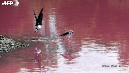 Озеро в Мельбурні стало рожевого кольору - фото 1