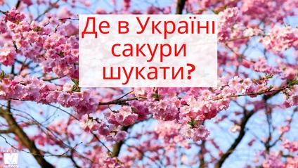 Сакура – японська вишня, яке квітне рожевим цвітом - фото 1