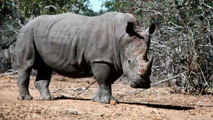 Чорний носоріг - фото 1