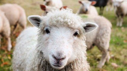 Як вівці врятували юних французів - фото 1