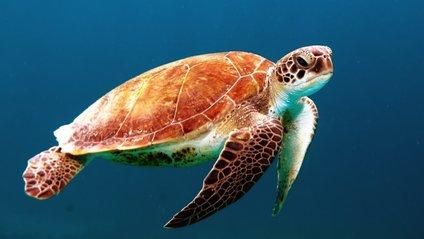 Величезна черапаха - фото 1