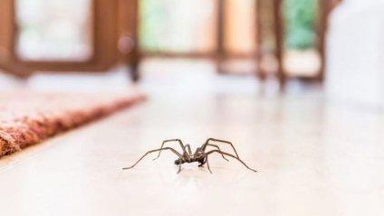 Практично всі павуки отруйні - фото 1