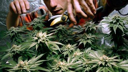 Легалізація марихуани має лише позитивний вплив - фото 1