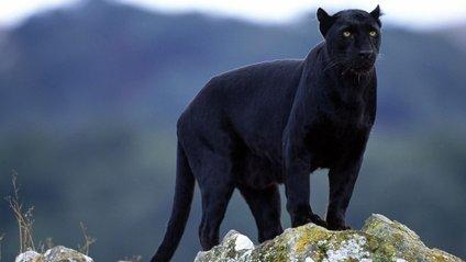 На даху житлового будинку помітили чорну пантеру: відео - фото 1