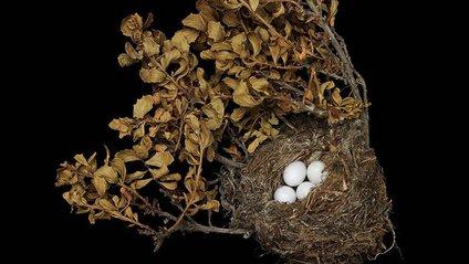 Гніздо американського чижа - фото 1