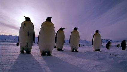 Гігантські пінгвіни - фото 1