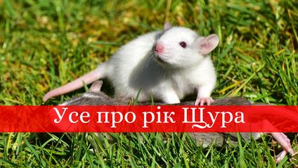 Пацюк – символ 2020 року - фото 1