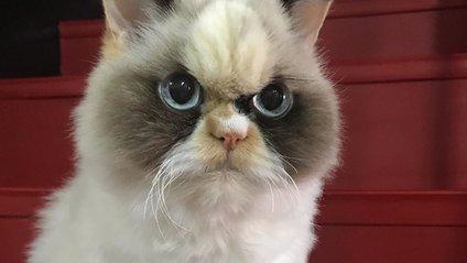 У Instagram знайшли двійника легендарної кішки Grumpy Cat: кумедні фото - фото 1