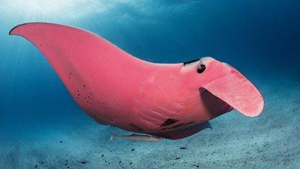 Фотограф зняв унікального рожевого ската: вражаючі кадри - фото 1