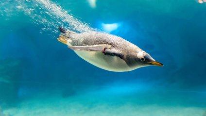 Науковці вперше записали розмови пінгвінів під водою - фото 1