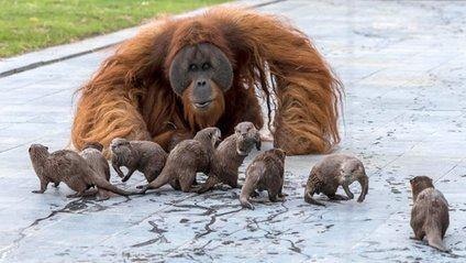 Орангутанги несподівано подружилися зі зграєю видр: кумедні фото - фото 1