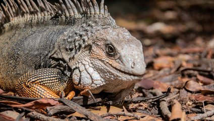 Товариська ящірка - фото 1