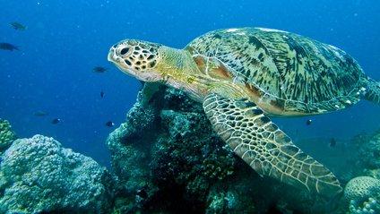 Зелена черепаха - фото 1