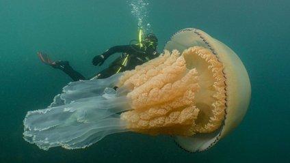 Медуза ціанея - фото 1